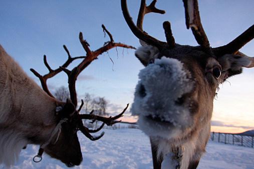 Santa s official reindeer cam