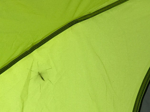 Connell - Tent Spider